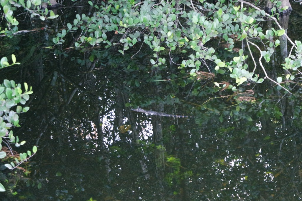 Baby Alligator im Wasser