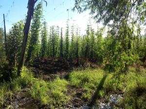 Hopfenplantage in El Bolson, Argentinien