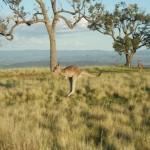 känguru am startplatz