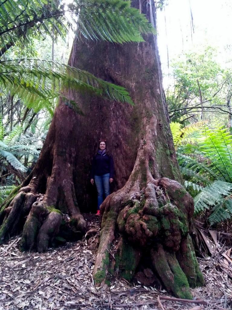 eli vor einem Küstenmammutbaum
